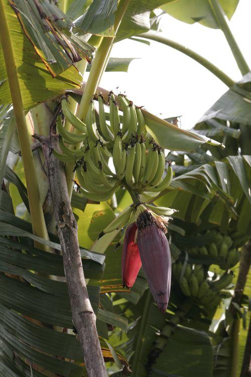 Bananaflower